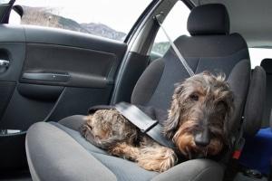 Eine Anschnallpflicht für Hunde existiert nicht.