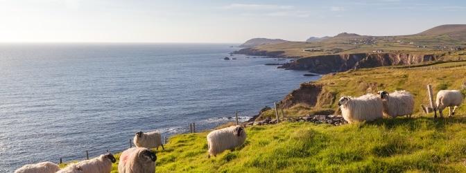 Beim Autofahren in Irland kann Ihnen das ein oder andere Schaf begegnen.