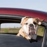 Ein Hund muss im Auto immer gesichert werden.