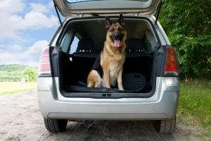 Einen großen Hund im Kofferraum zu transportieren ist möglich.