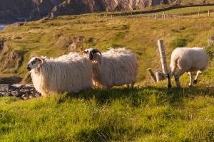Erkunden Sie Island mit dem Auto, gilt es unter anderem die Schafe zu beachten.
