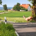 Gefährlich für Autofahrer und Wild: Der Wechsel von einer Straßenseite auf die andere endet für Tiere nicht selten tödlich.